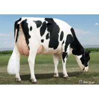 Tinh bò sữa HF - BULLMARK