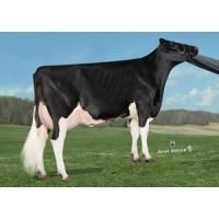 Tinh bò sữa HF - LATROBE