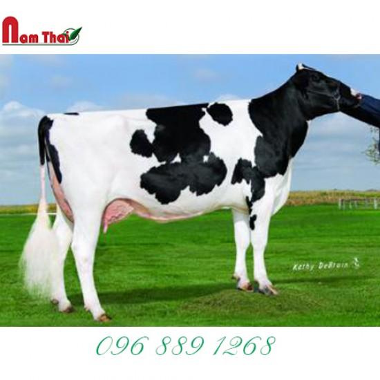 Tinh bò sữa HF - GILMORE