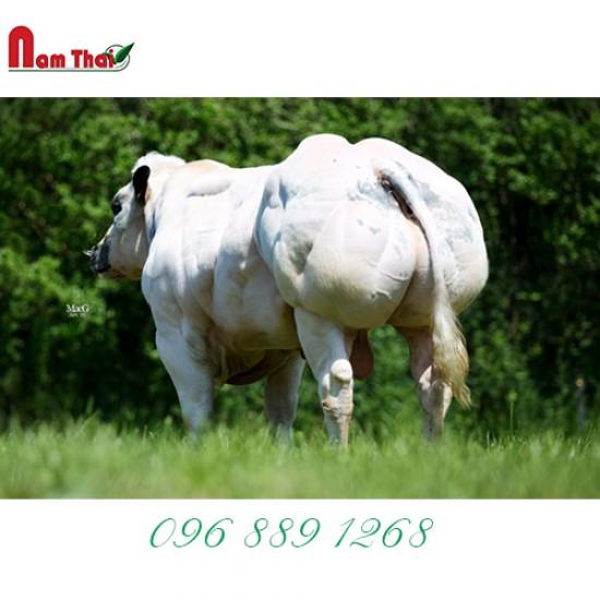 Tinh bò thịt BBB-CROCUS DE MATIGNOLLES