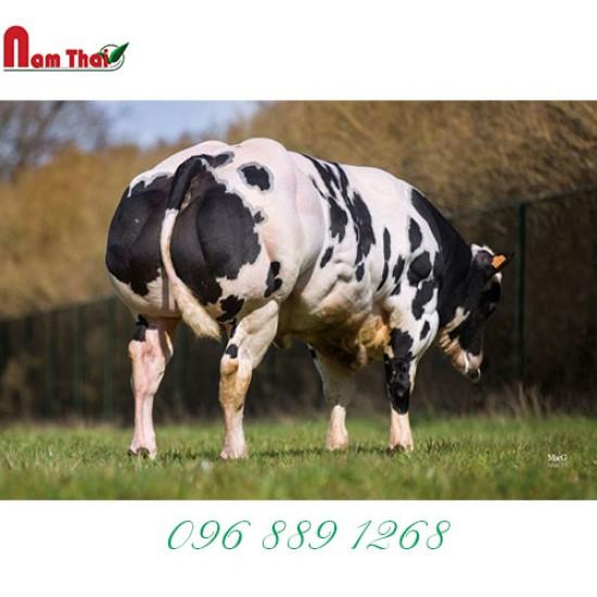 Tinh bò thịt BBB - DIGITAL D'EMBISE