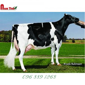 Tinh bò sữa HF Mỹ-WELCOME GERWYN-ET