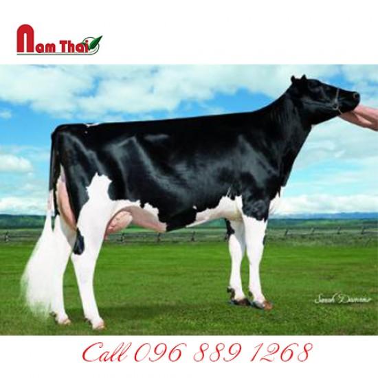 Tnh bò sữa HF Mỹ-CLEAR-ECHO INVINCABULL-ET
