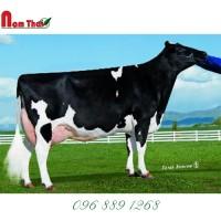 Tinh bò sữa HF Mỹ- GOLD-N-OAKS MEMPHIS