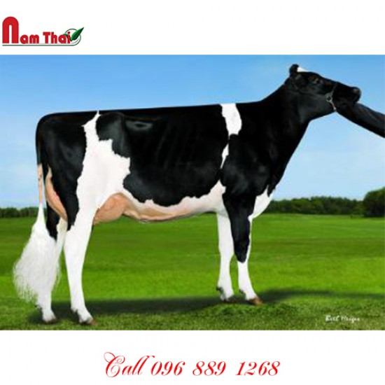 Tinh bò sữa HF -  PINE-TREE STOCKLEY-ET