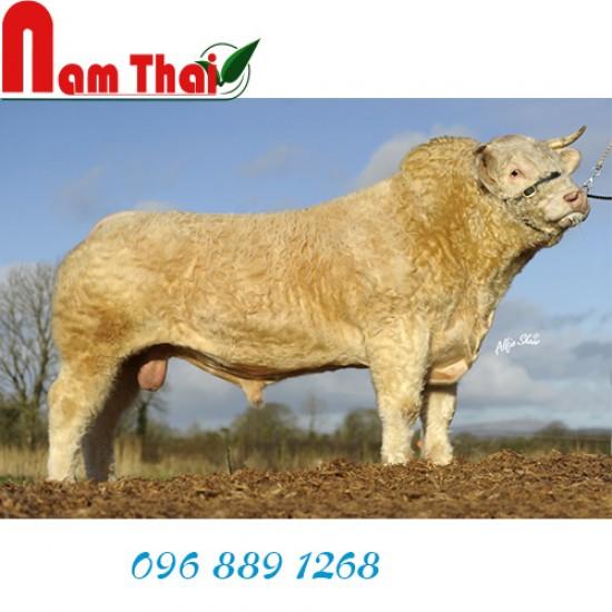 Tinh bò thịt Charolais Doncamillo