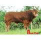 Tinh bò thịt Limousin Pháp - Gentil Eba