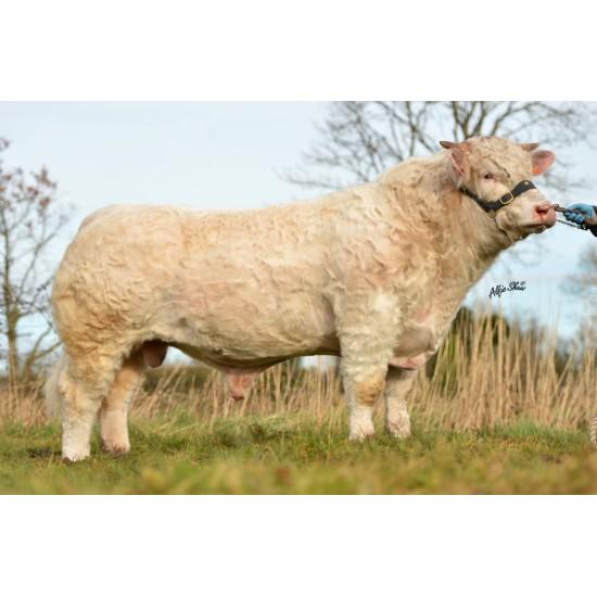 Tinh bò thịt Charolais - Hideal - FR5812312749