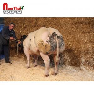 Tinh bò thịt BBB - IGNORANT