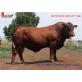 Tinh bò thịt Senepon - GCSJ 30035 Gouron Creek Jacka