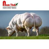 Tinh bò thịt BBB PBGT - REJOUI D ARGENTON