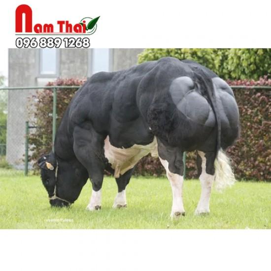 Tinh bò thịt BBB PBGT - OR DE BEAUJEU