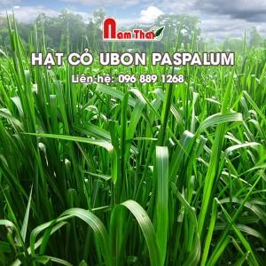Hạt cỏ giống Ubon Paspalum