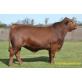 Tinh bò thịt  Red Brangus - BRANDIO