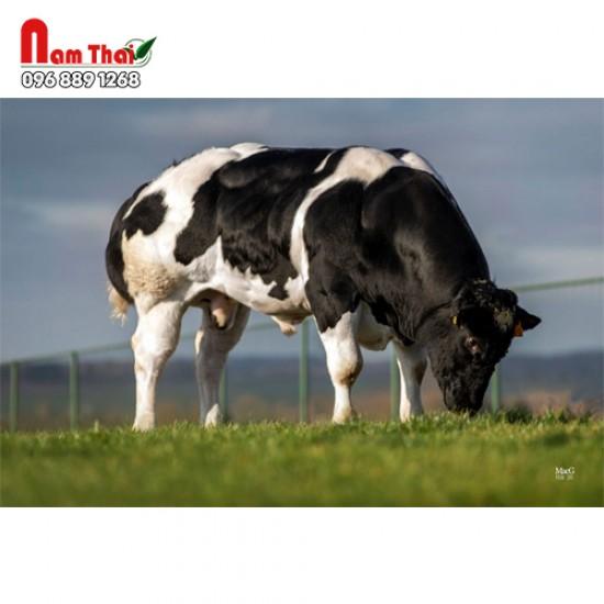 Tinh bò thịt BBB - BAVARD DU CHATEAU FALLOIS