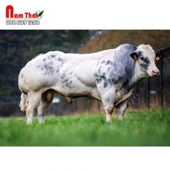 Tinh bò thịt BBB - CUPIDON DE SPY