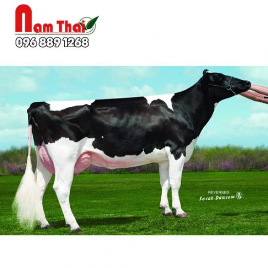 Tinh bò sữa HF - SULLHRTFORD ROADSHOW-ET