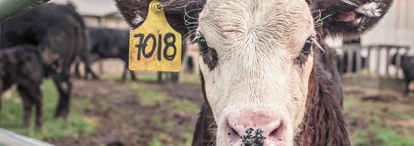 Hướng dẫn đỡ đẻ cho bò