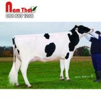 Tinh bò sữa HF - PINE-TREE ENLIGHTEN-PP-ET