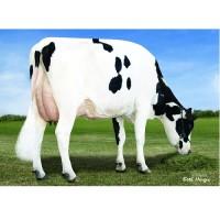 Tinh bò sữa Latuch ORIENT
