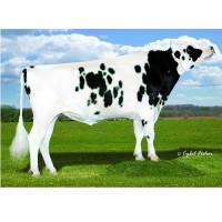 Tinh bò sữa HF - JOE