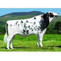 Tinh bò sữa HF - HAVOC