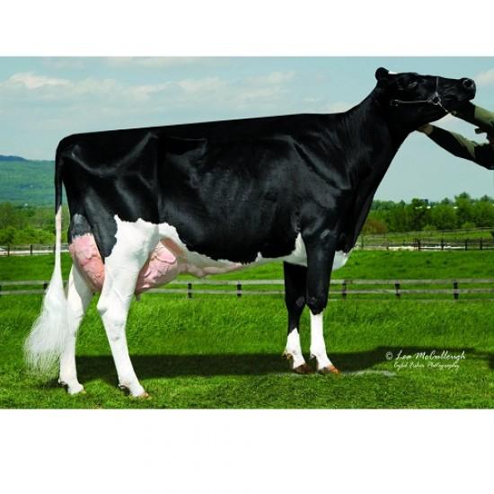 Tinh bò sữa HF - ASUMA