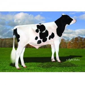 Tinh bò sữa HF - FINDLAY