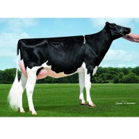 Tinh bò sữa HF - KEARNEY