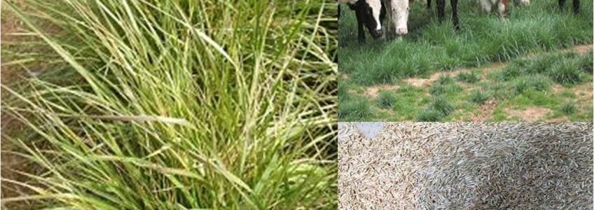 Hạt cỏ giống tại Nghệ An từ vật tư chăn nuôi
