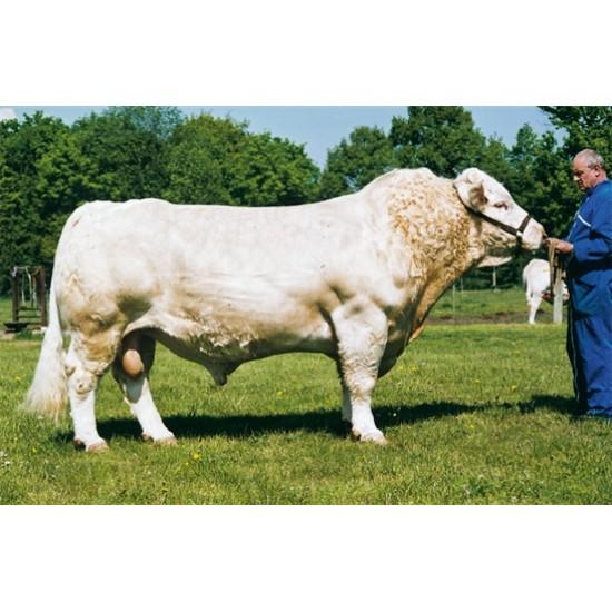 Tinh bò thịt Charolais Pháp - PAGNOL- FR0310189451