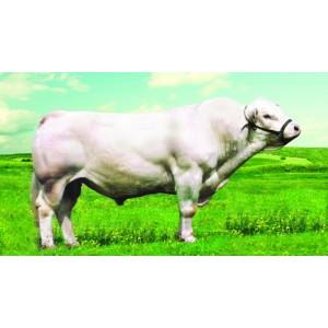Tinh bò thịt Charolais - Paladin SC