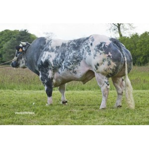 Tinh bò thịt BBB- Jasper