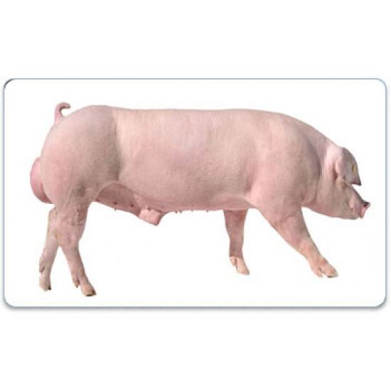 Tinh lợn Landrace- AGC4 AJAX 0-0