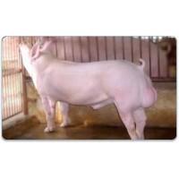 Tinh lợn Yorkshire- AGC4 TYRONE 0-0