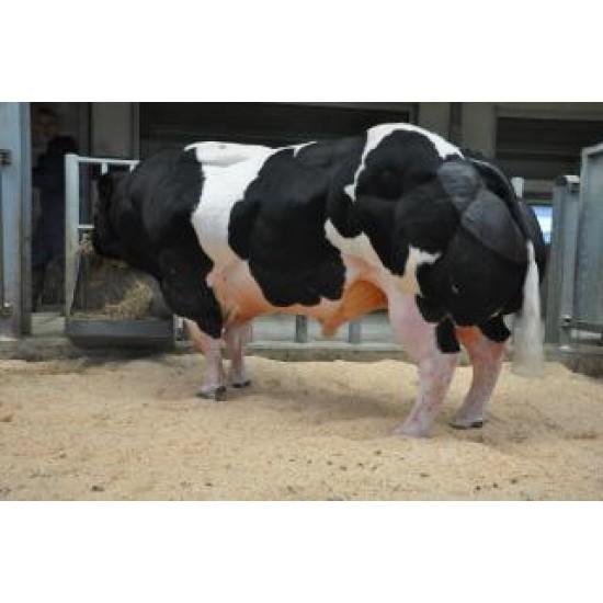 Tinh bò thịt BBB- MUGUET