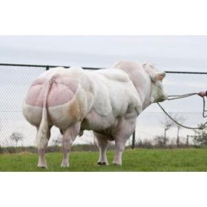 Tinh bò thịt BBB- TARZAN
