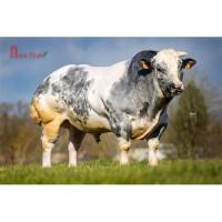 Tinh bò thịt BBB - Bosco Du Falgi