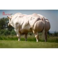 Tinh bò thịt BBB - BRASERO DU MOGILNA