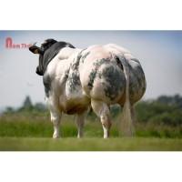 Tinh bò thịt BBB - GLAIEUL