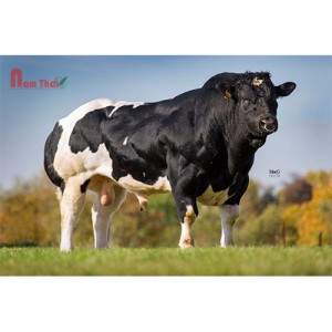 Tinh bò thịt BBB - JEFFERSON DE DESSOUS LA VILLE