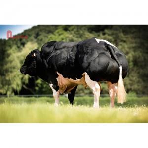 Tinh bò thịt BBB- KUBITUS DE BRAY