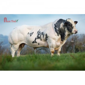Tinh bò thịt BBB - NITRATE DE BELLE EAU
