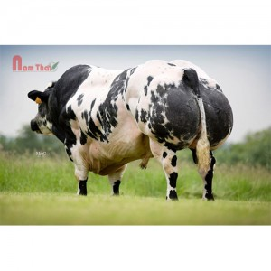 Tinh bò thịt BBB - OLYMPE DE LA HASSE