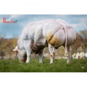 Tinh Bò Thịt BBB - REJOUI D ARGENTON