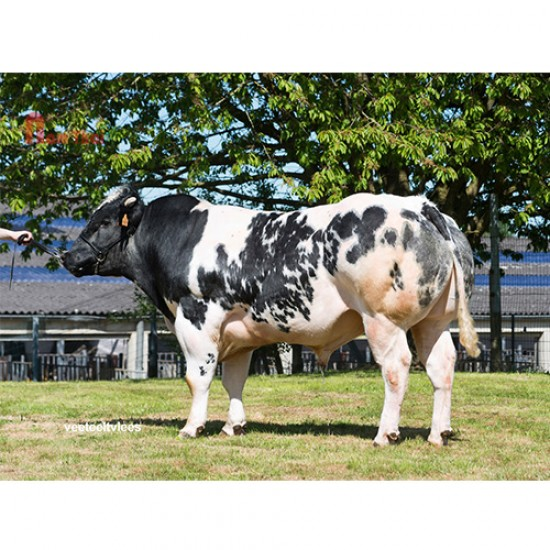 Tinh bò thịt BBB - SKETCH DE L'ORGELOT