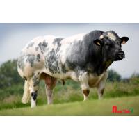 Tinh bò thịt BBB - TRESOR