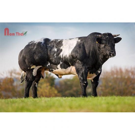 Tinh bò thịt BBB - VIGNERON