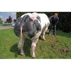 Tinh bò thịt BBB- TATAYET