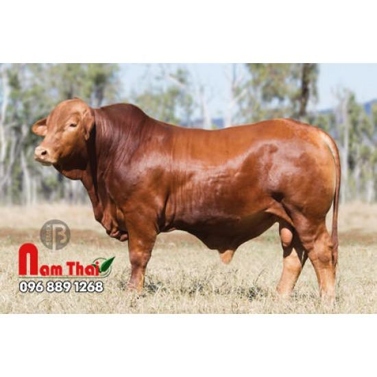 Tinh bò thịt Droughtmaster - SANDLEWOOD